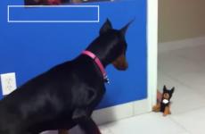 doberman se vuelve loco con muñeco de perro