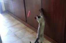 gato jugando con el puntero laser
