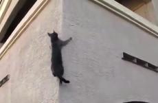 gato ninja o araña