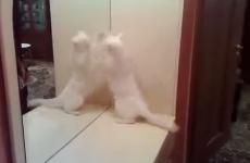 gato peleandose con su reflejo del espejo