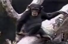 mono se mete el dedo en el culo