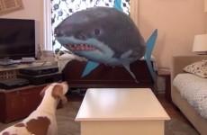 video perro y tiburón