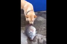 perro intentando salvar a pez