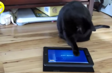 video gato jugando ipad