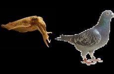 calamar o paloma, los gandules