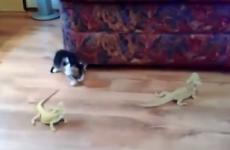 gato se asusta con iguanas