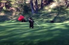 osezno jugando con bandero de golf