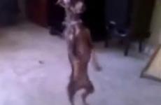 vídeo perros bailando