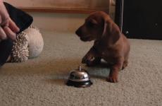 cachorro pide comida tocando un timbre